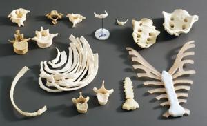 Somso® Individual Human Bones