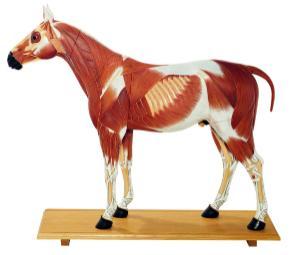 Somso® Horse Model