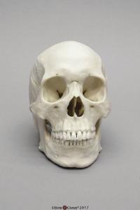 Human Male Asian Skull