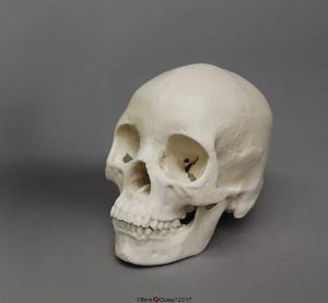 Human Female Asian Skull, Economy