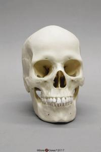 Human Female European Skull