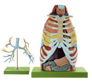Somso® Anatomy of the Thorax Model