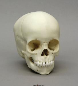 Human Child Skull 2-year-old