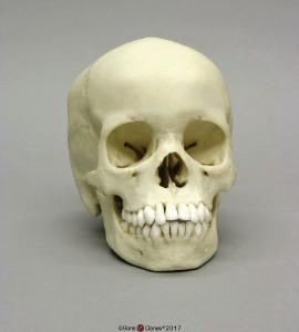 Human Child Skull 13-year-old