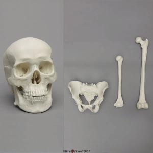 Economy Set Male: Skull, Pelvis, Femur, Humerus