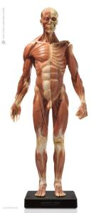 Anatomy Tools® Anatomical Figures, 1:3 Scale