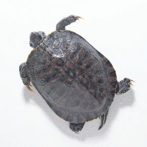 Preserved Turtles