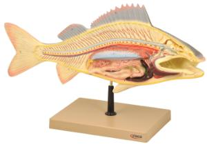 Eisco® Perch Dissection