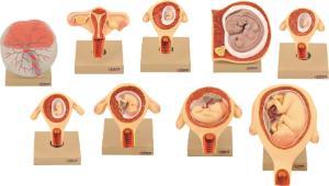 Eisco® Gestational Model Set