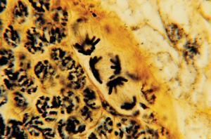 Animal Meiosis, Spermatogenesis Slide