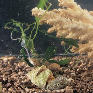 Ward's® Live Marine Snails (<i>Prosobranchia</i>)
