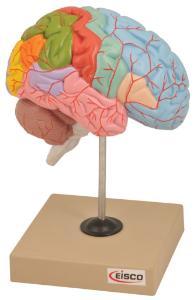 Eisco® Regions Of The Brain