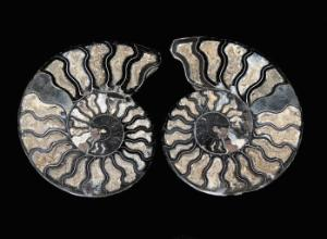 Ammonite (Cretaceous)