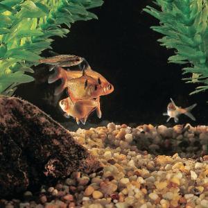 Assorted Tetra Fish