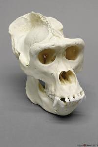 Gorilla Skull Male