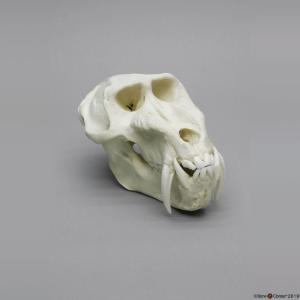 Mandrill Baboon Skull Male
