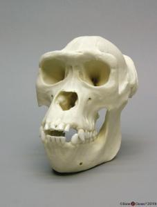 Gorilla Skull Female