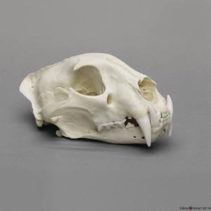 African Leopard Skull