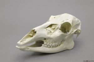 Econo White Tailed Deer Skull Female