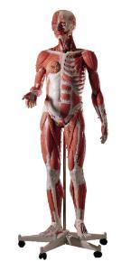 3B Scientific® 3/4 Size Human Anatomy Figure