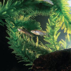 Ward's® Live Zebrafish