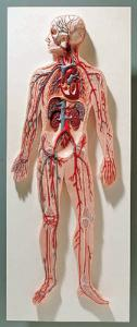 3B Scientific® Introductory Circulatory System