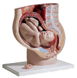 3B Scientific® Pregnant Pelvis Model