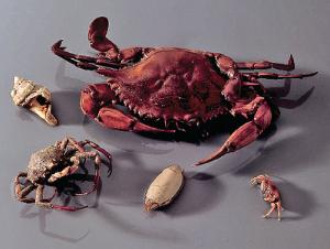 Ward's® Crab Collection