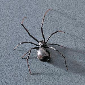 Prserved Black Widow Spider