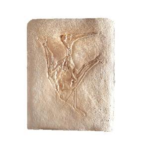 <i>Pterodactylus kochi</i> (Jurassic)