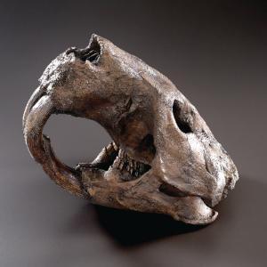 BoneClones® Giant Fossil Beaver Skull, Tarpit Finish