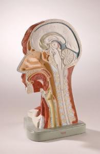 Denoyer-Geppert® Half Head Model