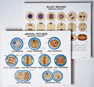 Denoyer-Geppert® Cell Structure and Division Chart Set