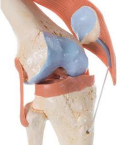 3B Scientific® Deluxe Functional Knee Joint