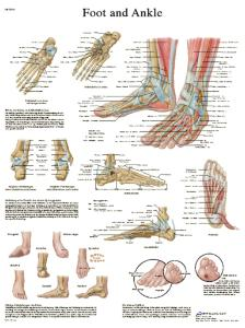 3B Scientific® Foot And Ankle Chart