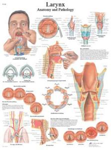 3B Scientific® Larynx Chart