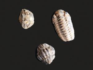 Phacops Species