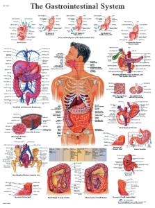 3B Scientific® Digestive System Chart