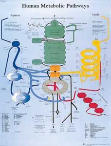 3B Scientific® Human Metabolic Chart