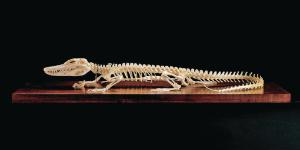 Ward's® Alligator Skeleton