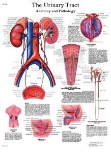 3B Scientific® Urinary Chart