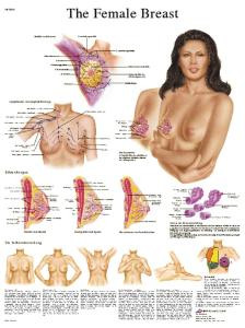 3B Scientific® Female Breast Chart