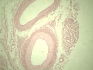 Artery, Vein, & Nerve, Primate Slide
