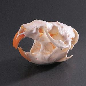 Muskrat Skull, Ward's®