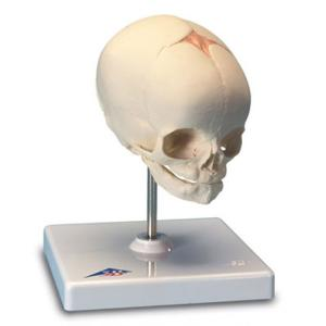 3B Scientific® Fetal Skull