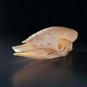 Armadillo Skull, Ward's®