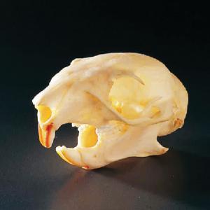 Squirrel Skull