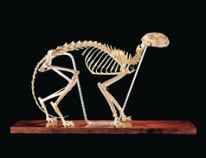 Ward's® Cat Skeleton