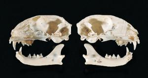 Bisected Cat Skull, Ward's®