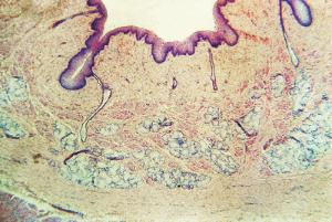 Esophagus, Mammal Slide